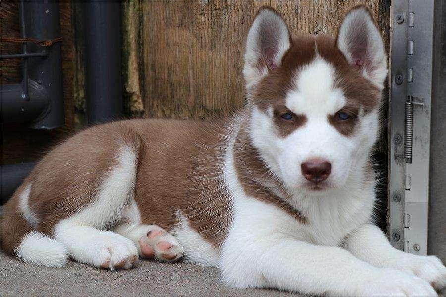 Hermosos cachorros husky bellísimos ejemplares lobo siberiano ROJO RAZA TOTALMENTE PURA GARANTIZADA ENTREGA INMEDIATA.