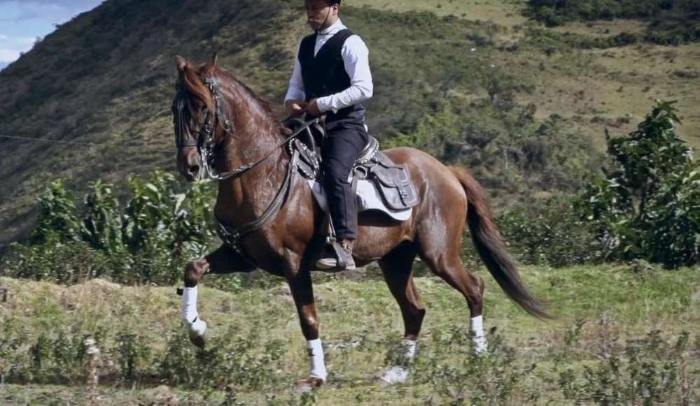 <strong>caballo</strong> entero paso peruano 8 años