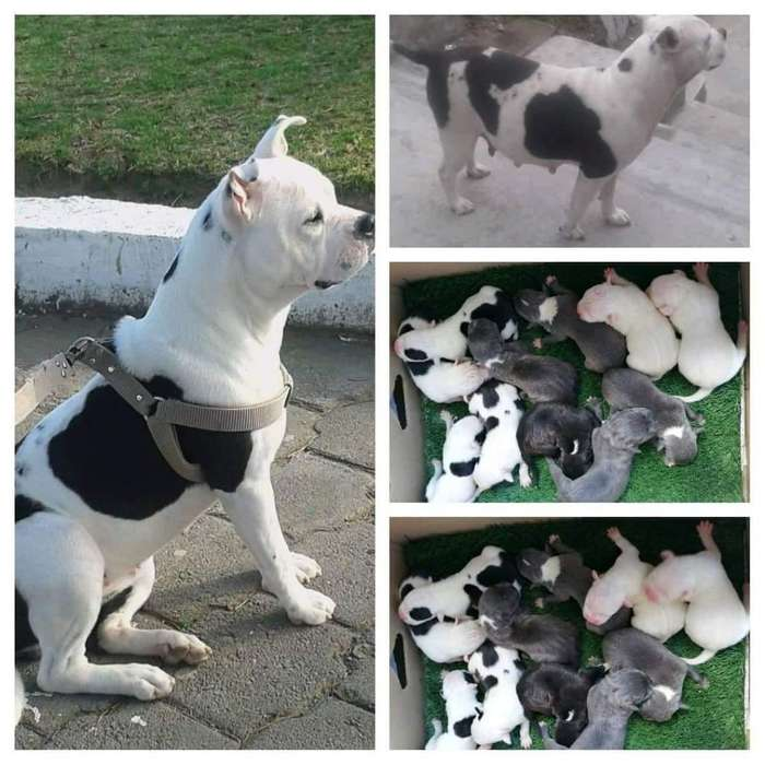 Hermosos <strong>cachorro</strong>s pitbull