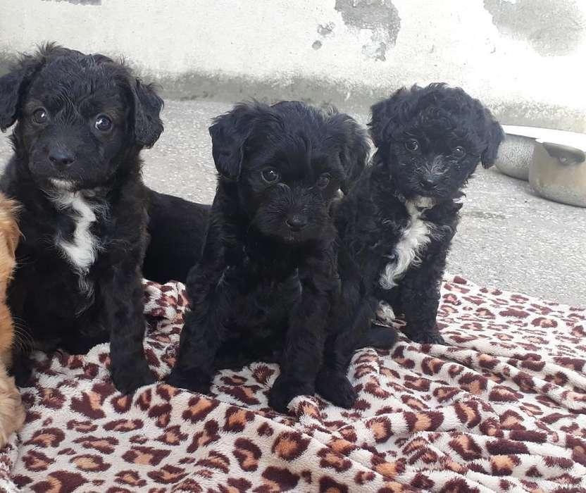 Vendo 3 Perritos Raza Castellána