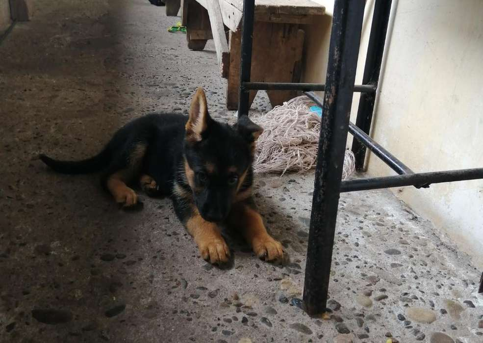 Oferta. Cachorros Pastor Aleman 2 Meses