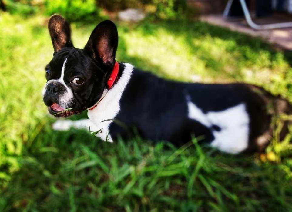 Bulldog Francés para Servicio
