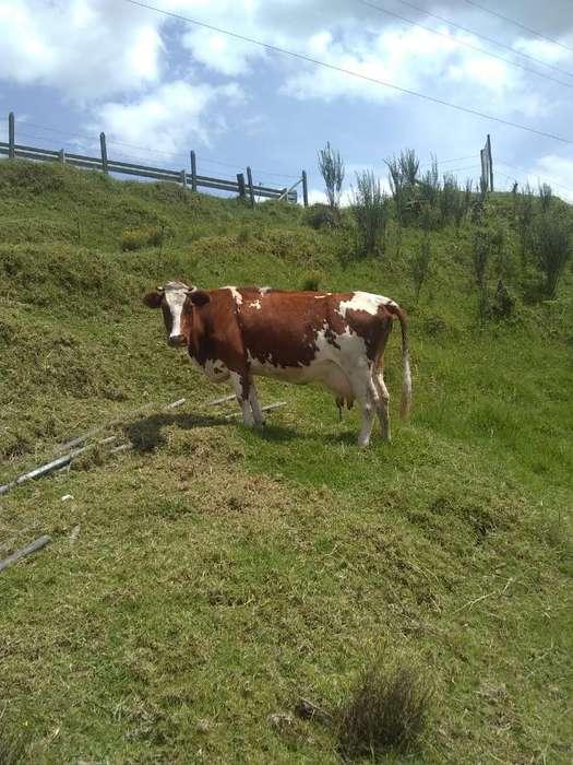 Vendo Vacas de Leche 3 Novillasydos Vaca
