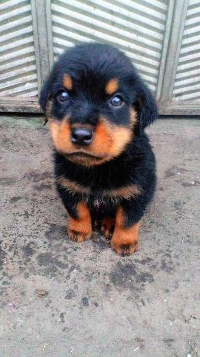 Se Vende Hermoso <strong>cachorro</strong> Rott Weiler