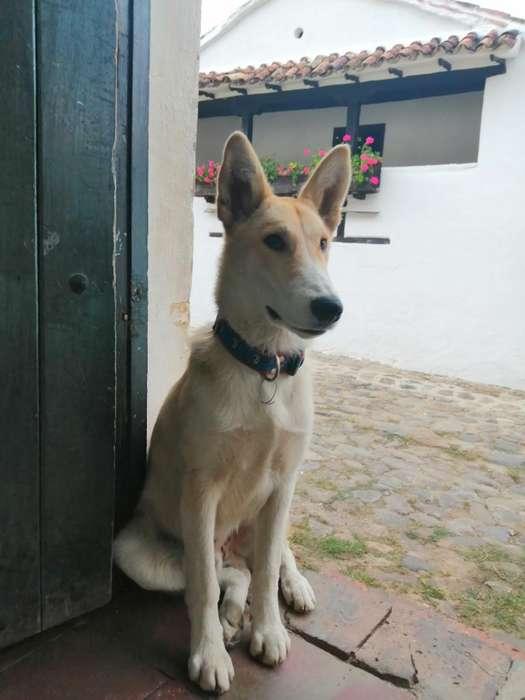 Lobo Collie
