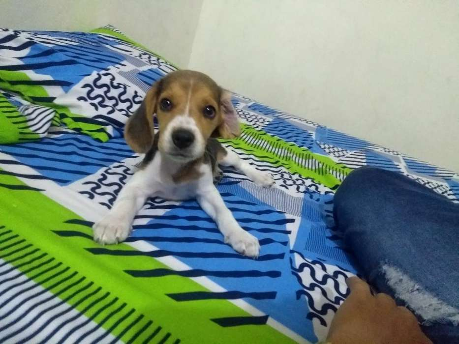 Se Vende Perrito <strong>beagle</strong>