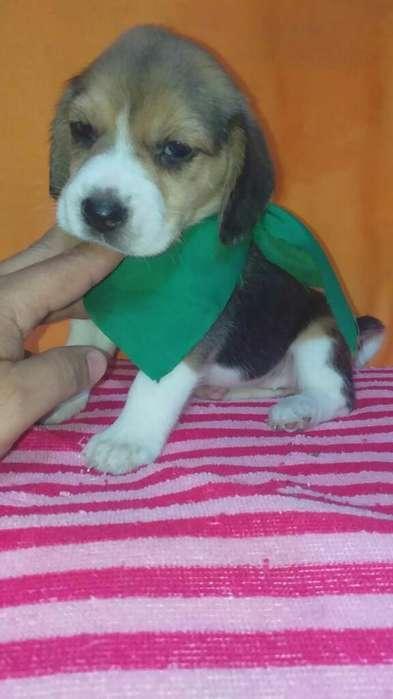 Tu Jugueton <strong>beagle</strong> Miniaturas Enanos