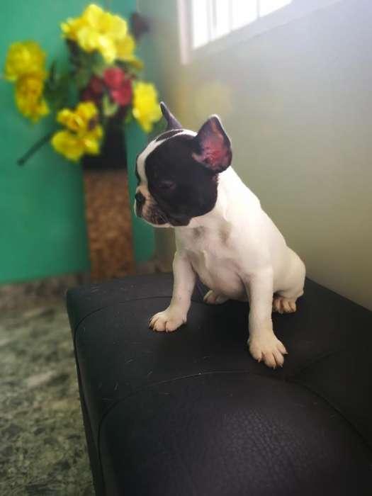 Hembra Bulldog Frances Vaquita
