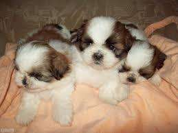 divinos machitos shihtzu peluditos