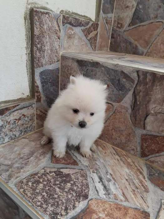Pomeranias Disponibles