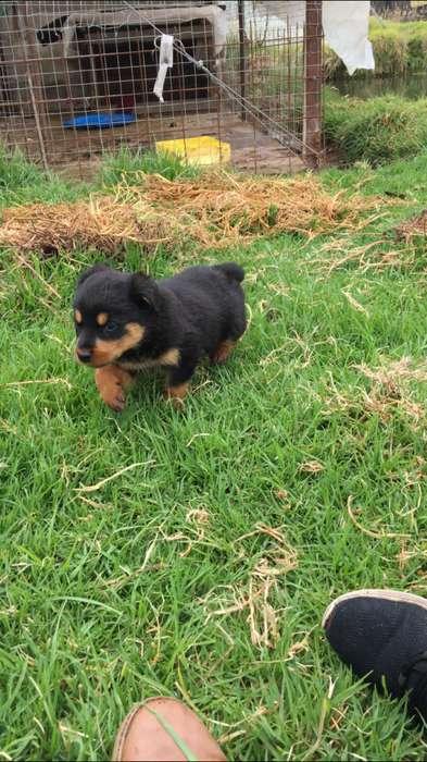vendo perritos Rottwailer 0985161182 wtspp