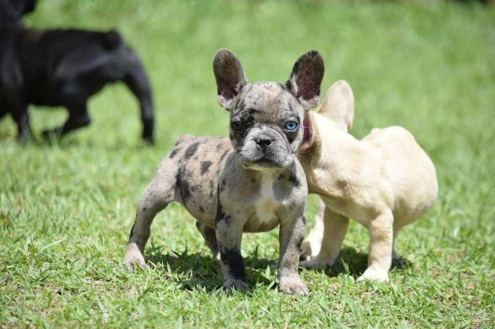 Hermosos <strong>bulldog</strong> Francés Cancan Mascotas