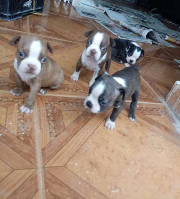 Perros Boston <strong>terrier</strong>