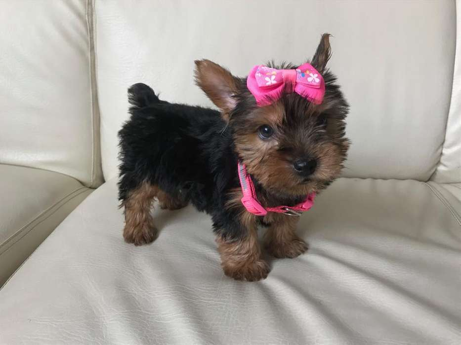YORKI CACHORROS YORKSHIRE <strong>terrier</strong> MACHOS Y HEMBRAS
