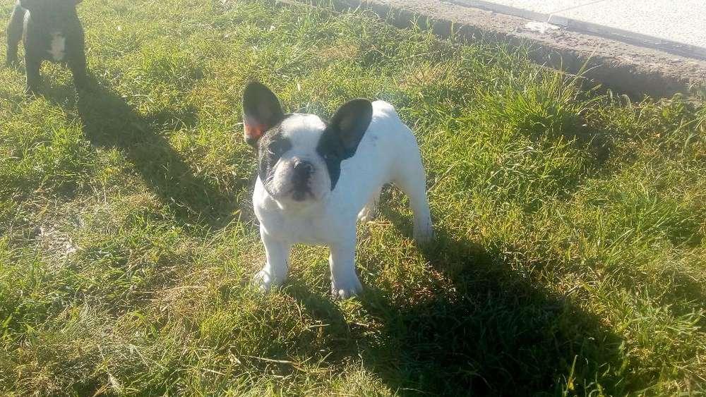 Bulldog Frances Hembra Vaquita