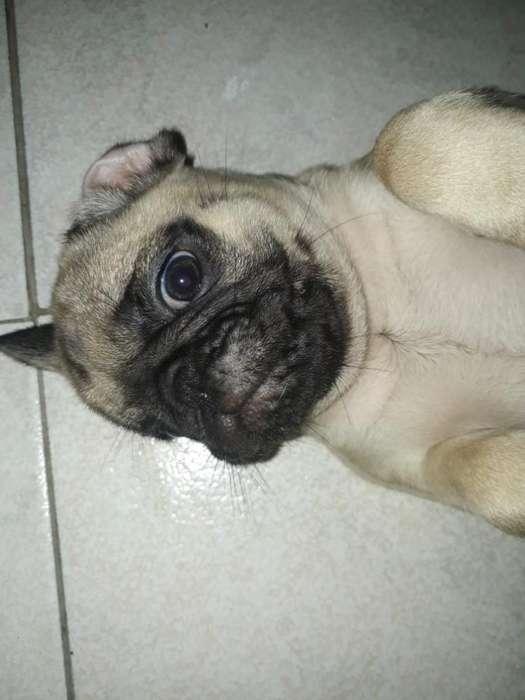 Hermosos <strong>cachorro</strong>s Pug en Venta Baratos