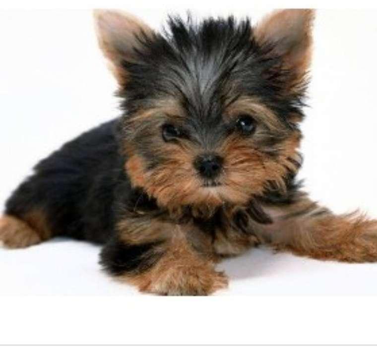 Se Vendeyorkhire Terrier Macho0992291668