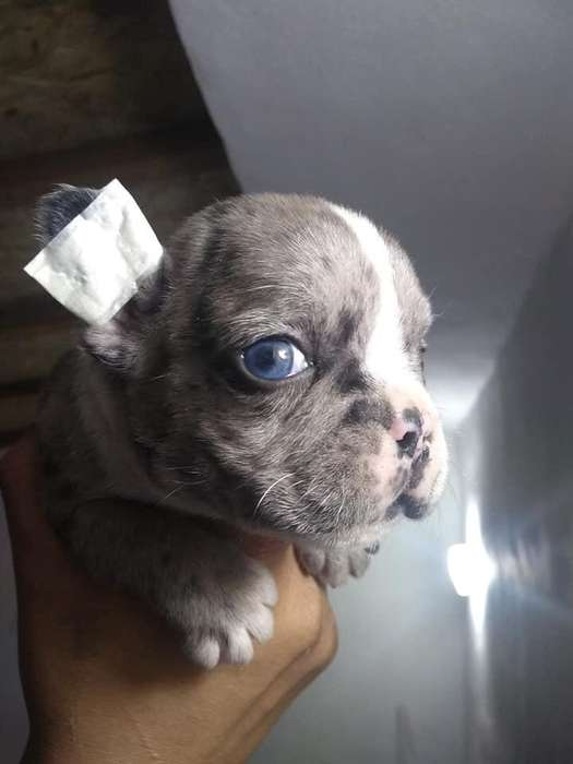 Bulldog Frances Black Merle