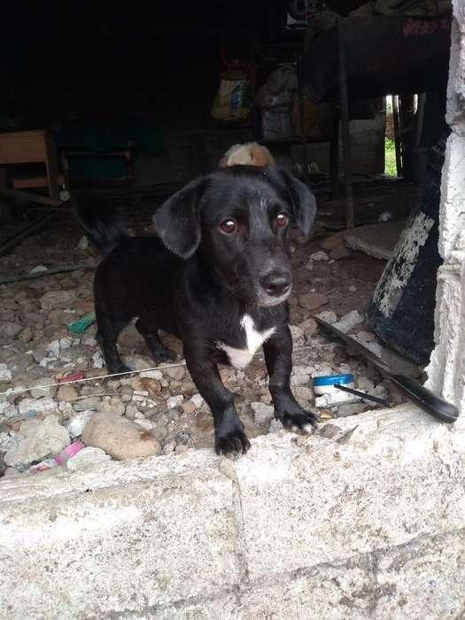Se Vende Un Labrador a Tan Solo 50