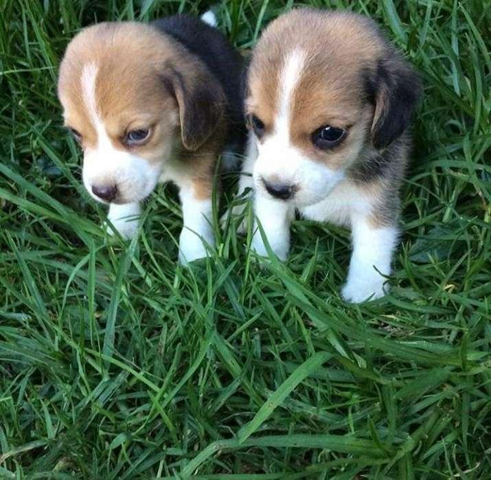 Cachorros <strong>beagle</strong> Tricolor