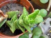 planta suculenta en maceta 10 aloe juvenna