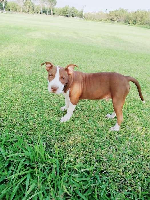 Se Vende Perro Pitbull de 3 Meses