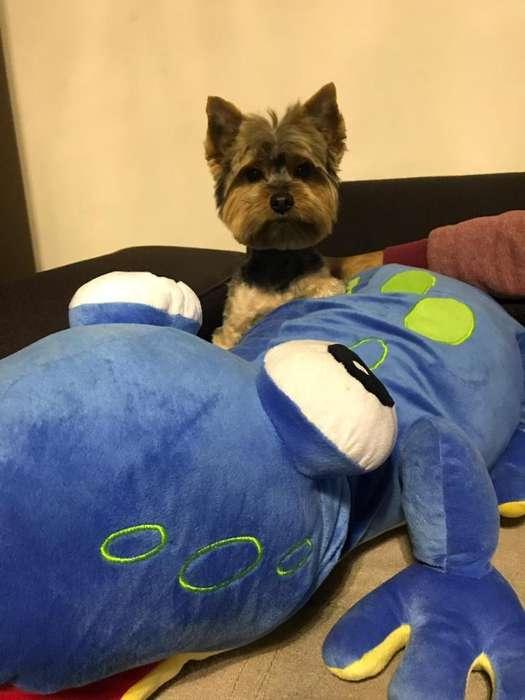 Servicio de monta Yorkshire Terrier Toy
