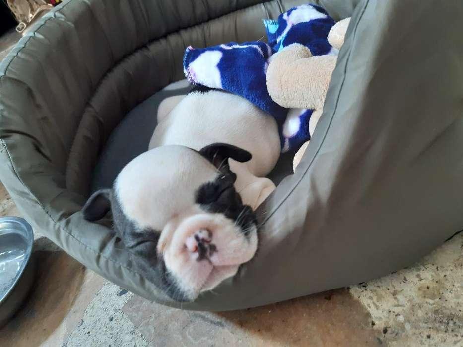 Bull Dog Frances Vaquita