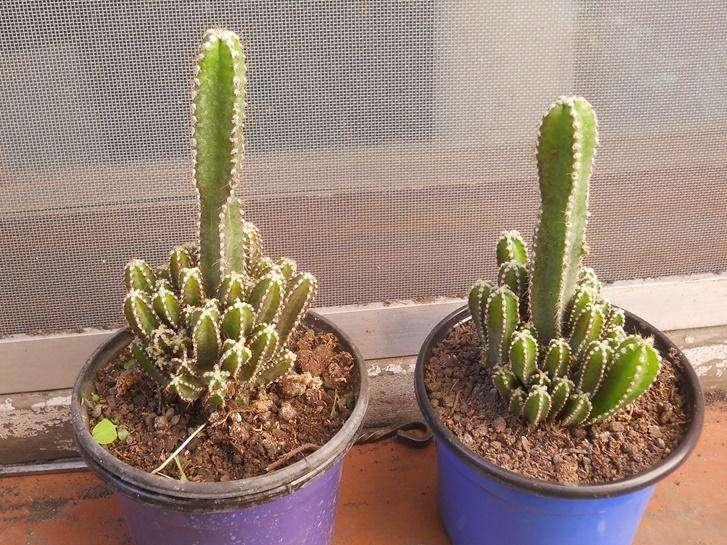 Cactus Fairy Castle maceta 12
