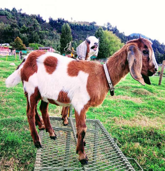 Cabras anglonubianas nubianas y saanen 3505659431