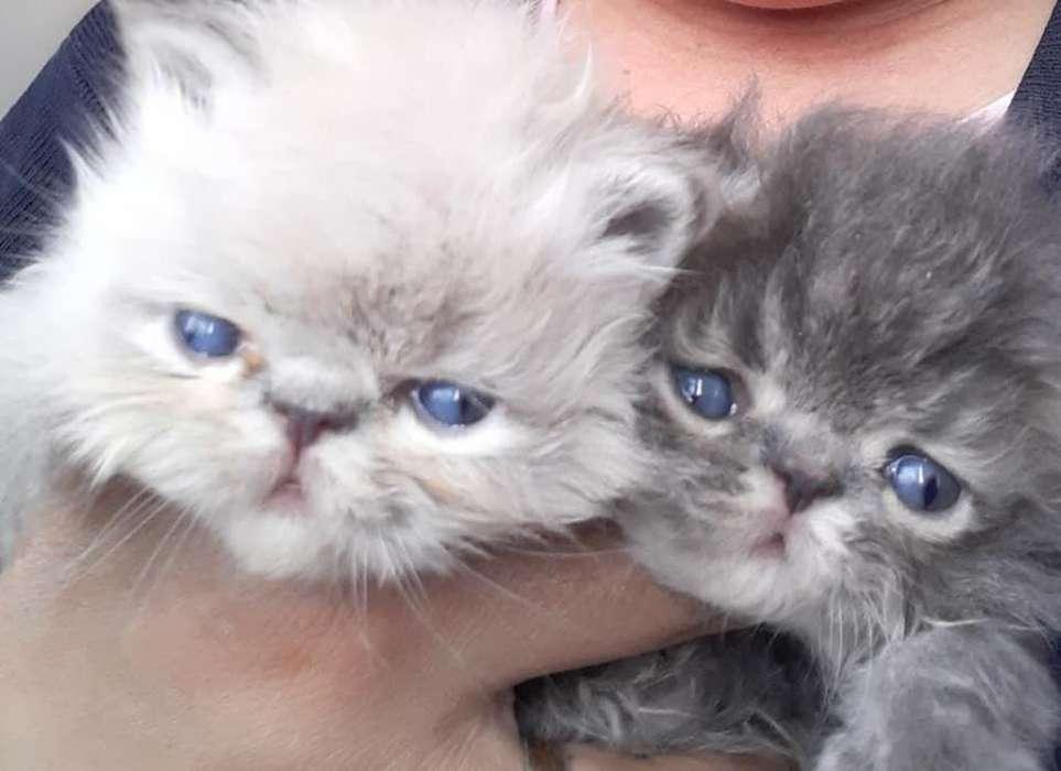 Gaticos Persa Machos