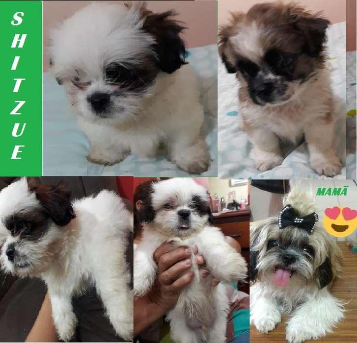 cachorros shitzu