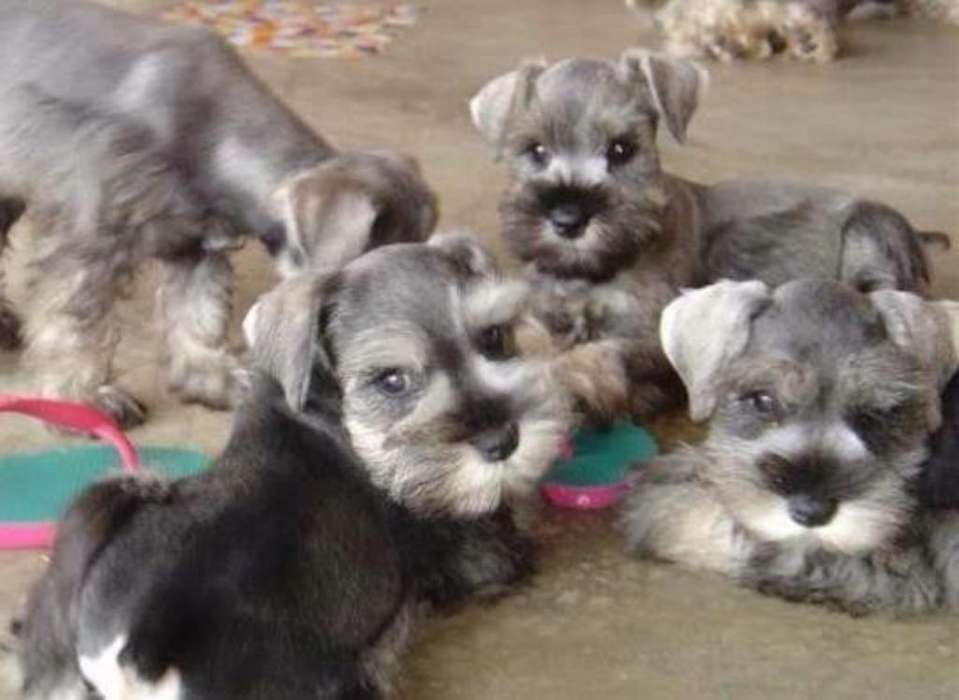 Schnauzer <strong>cachorro</strong>s