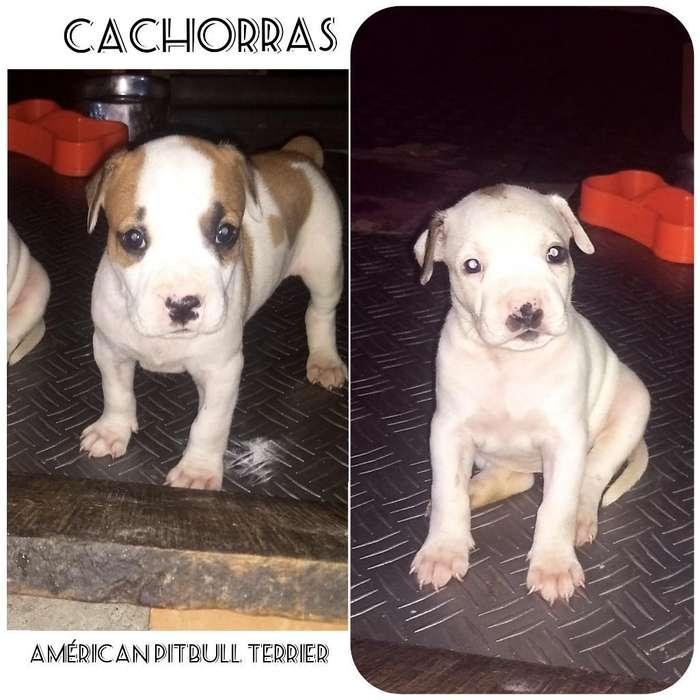 Cachorritas American Pitbull <strong>terrier</strong>