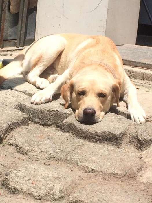 Labrador Busca Novia