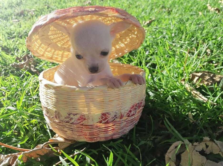 <strong>chihuahua</strong>S MACHOS BLANCOOOS!!! FOR SALE