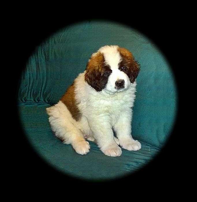 Cachorros San Bernardo <strong>perro</strong>s Beethoven Beethovito