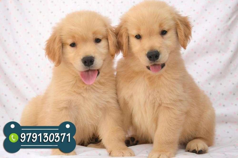 Excelentes Cachorros Golden Retriever con Garantia de Raza y Salud *ENVIOS NACIONALES