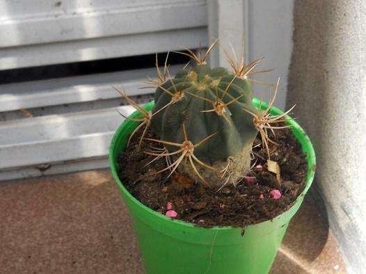 cactus ferocactus maceta 8