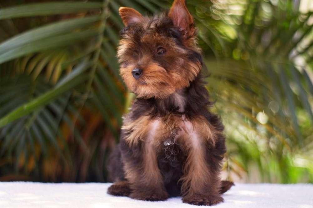 Yorkie Mini Yorkshire Terrier