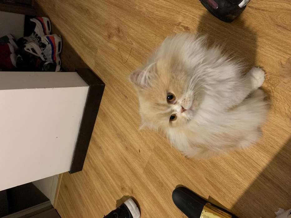 Gato persa busco novia
