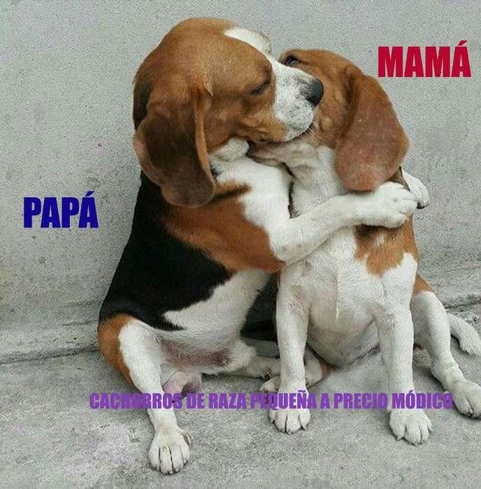 Hermosos beagles tricolor HEMBRA Y MACHO