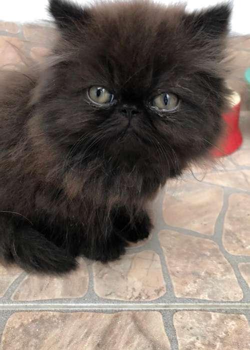 Se Vende Gato Persa Puro