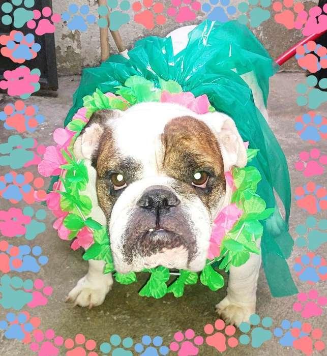 Hermosa Bulldog