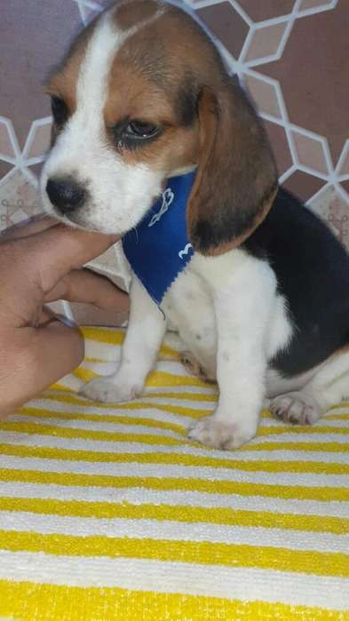 <strong>beagle</strong> Chiquito Brandon
