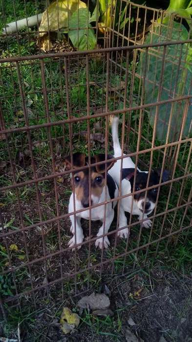 Perros Jack Russell Cachorros