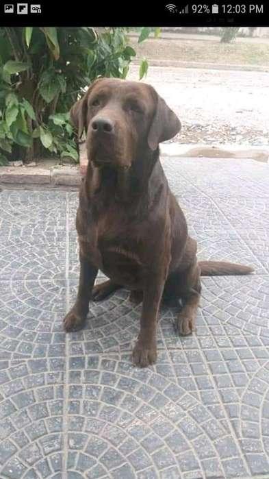 Vendo <strong>cachorro</strong>s Labradores