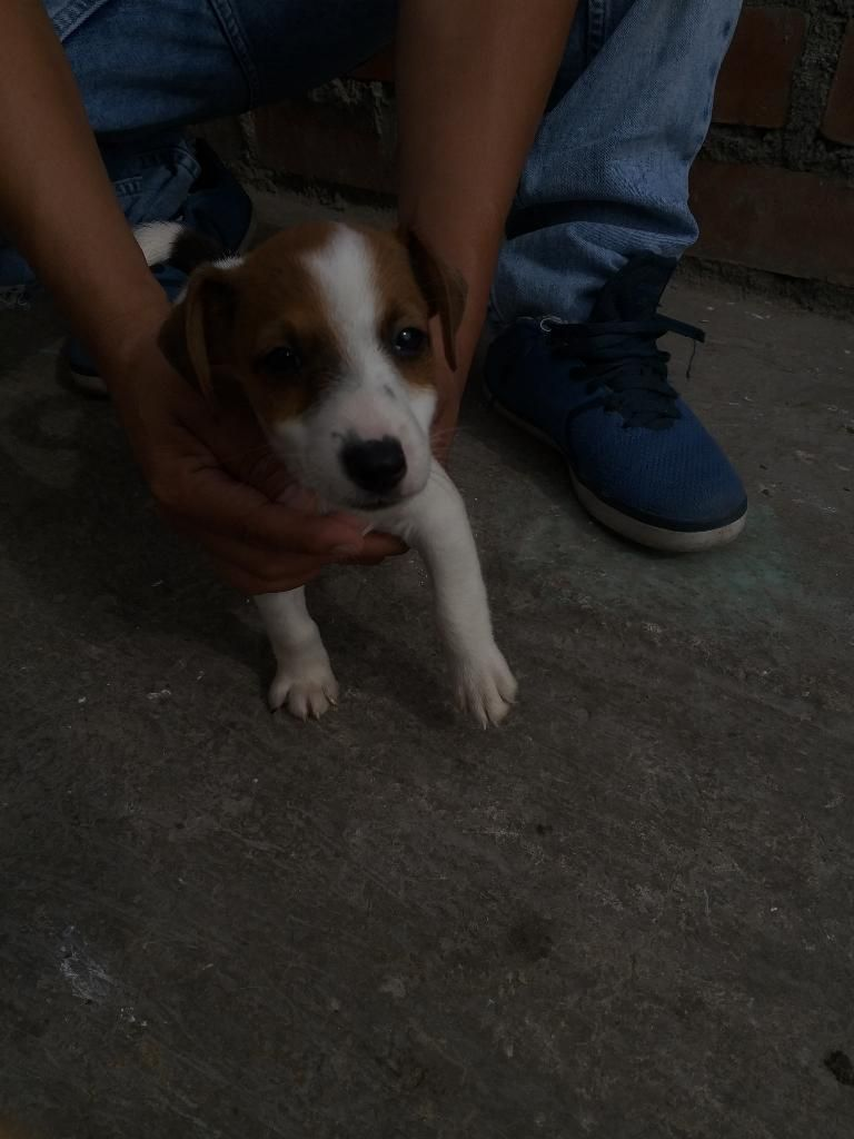 Cachorros Jack Rusell Terrier