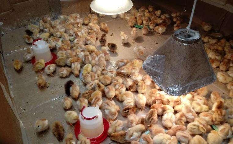 gallinas de primera bebes