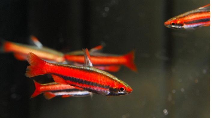 peces red pencil